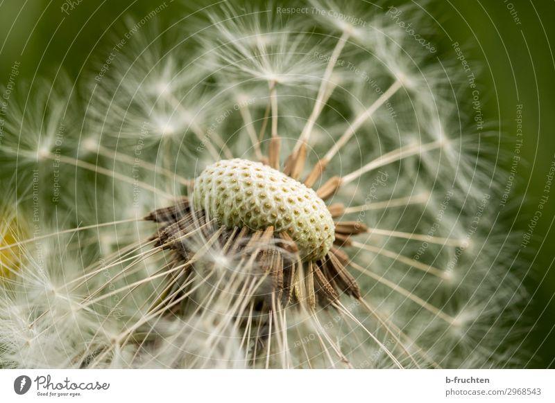 Pusteblume Umwelt Natur Pflanze Sommer Blume Grünpflanze Garten Wiese frei Fröhlichkeit frisch Hoffnung einzigartig Löwenzahn Samenpflanze Makroaufnahme