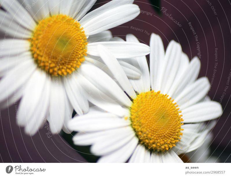 Zwei Gänseblümchen Lifestyle Design Wellness harmonisch Sommer Natur Pflanze Frühling Blume Blüte Blütenblatt Staubfäden Pollen Blühend leuchten authentisch