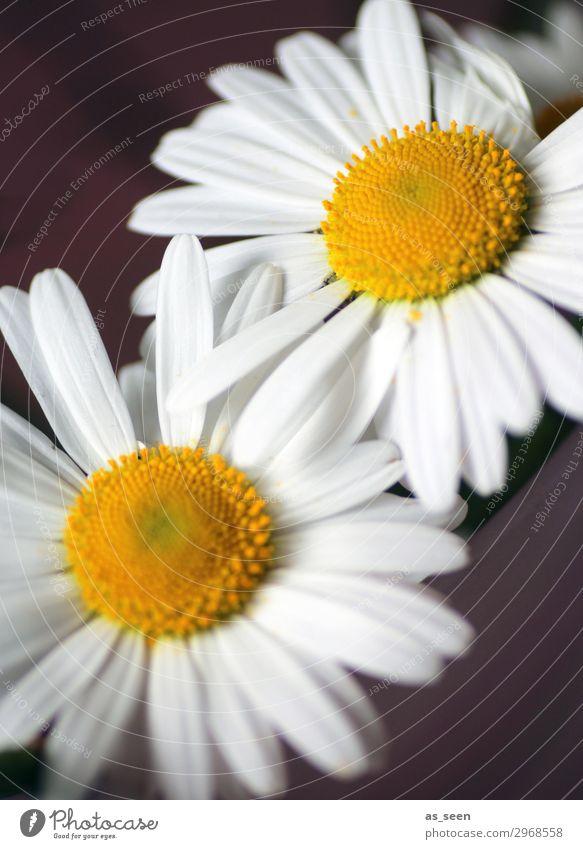 Zwei Gänseblümchen Natur Sommer Pflanze Farbe weiß Blume Leben gelb Umwelt Blüte Frühling Wiese Gefühle braun Design Zufriedenheit