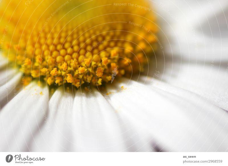 Gänsebümchen schön Gesundheit Wellness harmonisch Umwelt Natur Pflanze Frühling Sommer Blume Blüte Gänseblümchen Margerite Blütenblatt Staubfäden Wiese Blühend