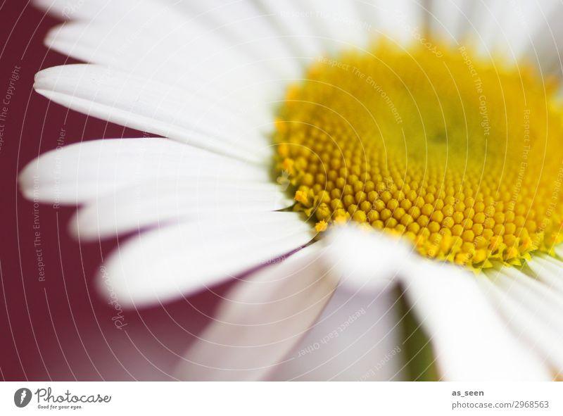 Gänseblümchen Lifestyle schön Wellness harmonisch Fahrradtour Sommer Blume Blüte Margerite Blühend ästhetisch authentisch frisch braun gelb rot weiß Gefühle