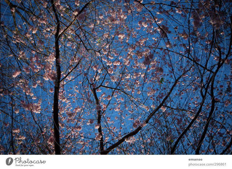 Frühjahrsblüte Natur Landschaft Pflanze Himmel Frühling Wetter Baum Blüte Park Wachstum natürlich schön blau rosa Kirschblüten Ast Baumkrone himmelblau Farbfoto