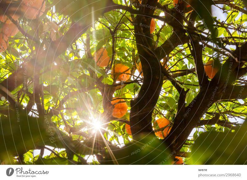 The sun shines through the branches of an orange tree Natur Sommer Gesundheit frisch saftig