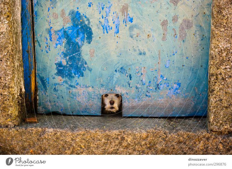 Hund blau alt Farbe Einsamkeit Freude Tier Haus lustig klein Tür gold warten gefährlich niedlich beobachten