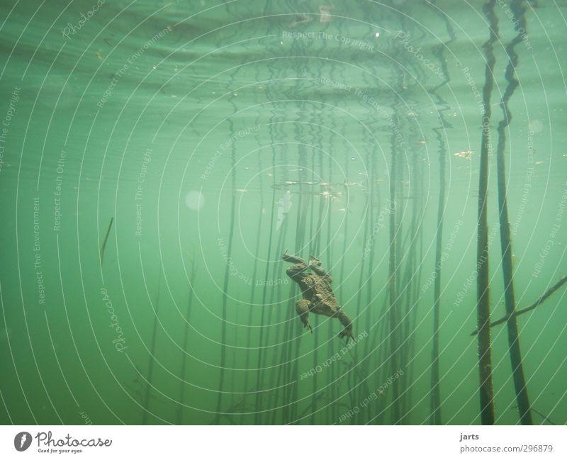abgang Natur Tier Wasser Frühling Teich Wildtier Frosch 1 Schwimmen & Baden tauchen nass natürlich Geschwindigkeit Kröte Unterwasseraufnahme Farbfoto