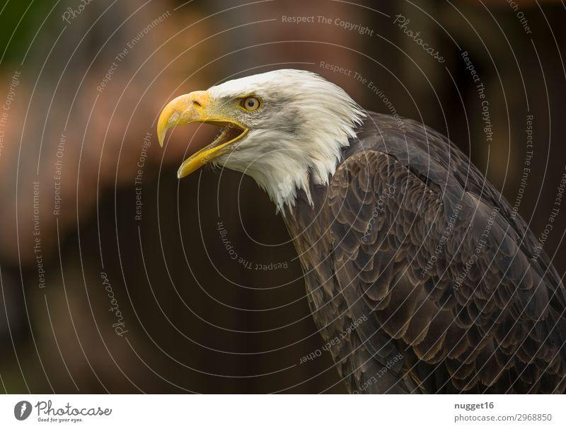 Weißkopfseeadler Umwelt Natur Tier Frühling Sommer Herbst Winter Klima Schönes Wetter Park Wiese Wald Urwald Wildtier Flügel Krallen Zoo Weisskopfseeadler