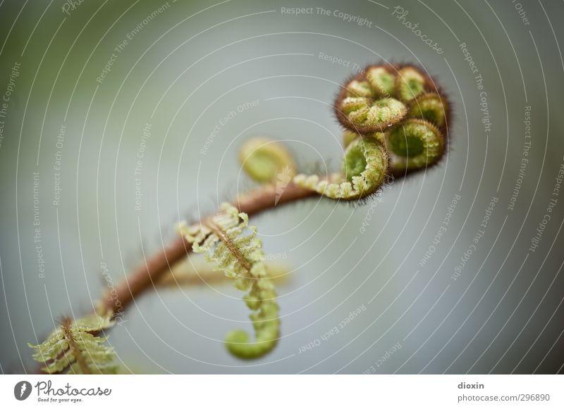 Farnfarben Umwelt Natur Pflanze Blatt Grünpflanze Wildpflanze Wachstum natürlich Spirale Farbfoto Nahaufnahme Detailaufnahme Makroaufnahme Menschenleer