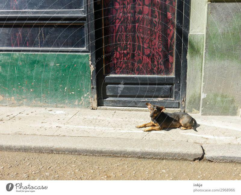 kubanischer Straßenhund Hund alt Tier Fenster Wand Mauer Fassade Tür dreckig authentisch Armut kaputt einfach Bürgersteig Kuba