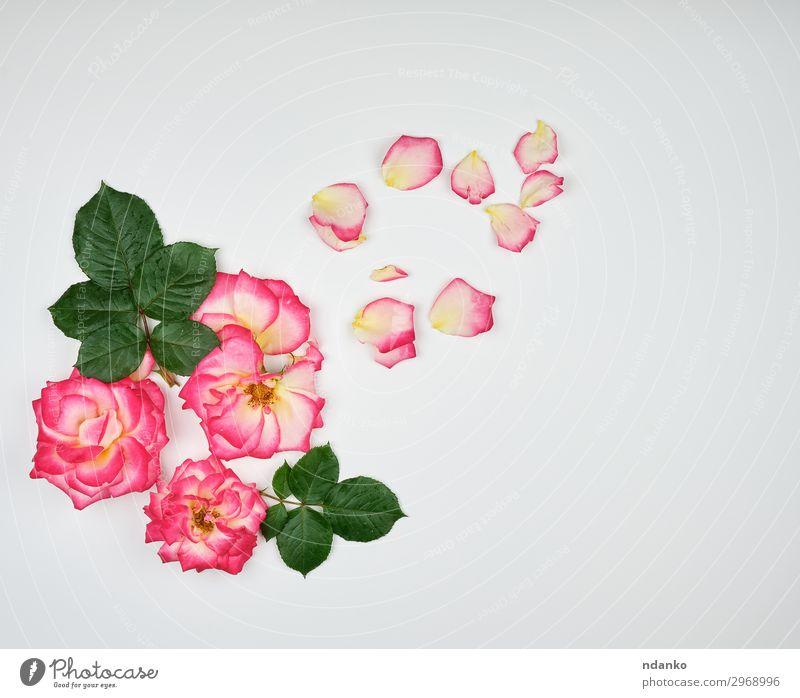 Natur Sommer Pflanze schön weiß Blume Liebe Blüte natürlich Feste & Feiern rosa Dekoration & Verzierung frisch Geschenk Romantik Hochzeit