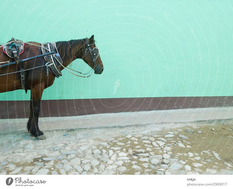 halbes kubanisches Pferd Menschenleer Kopfsteinpflaster Mauer Wand Fassade Verkehr Pferdekutsche Nutztier 1 Tier stehen warten alt authentisch einfach