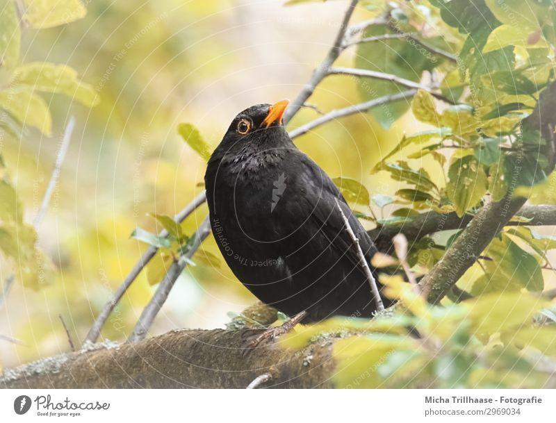 Amsel im Baum Natur grün Sonne Tier Blatt schwarz gelb Auge natürlich orange Vogel Wildtier Feder Schönes Wetter Flügel
