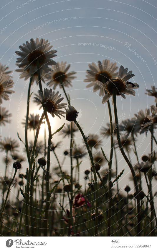 Margaritenblüten aus der Froschperspektive im Gegenlicht der Abendsonne Umwelt Natur Landschaft Pflanze Wolkenloser Himmel Sonnenlicht Sommer Schönes Wetter