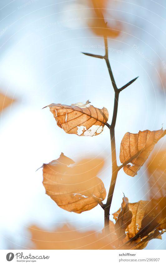 Herbst im Frühling Natur alt Pflanze Baum Blatt Tod orange Vergänglichkeit Ast dünn Zweig Herbstlaub herbstlich Dürre Herbstfärbung
