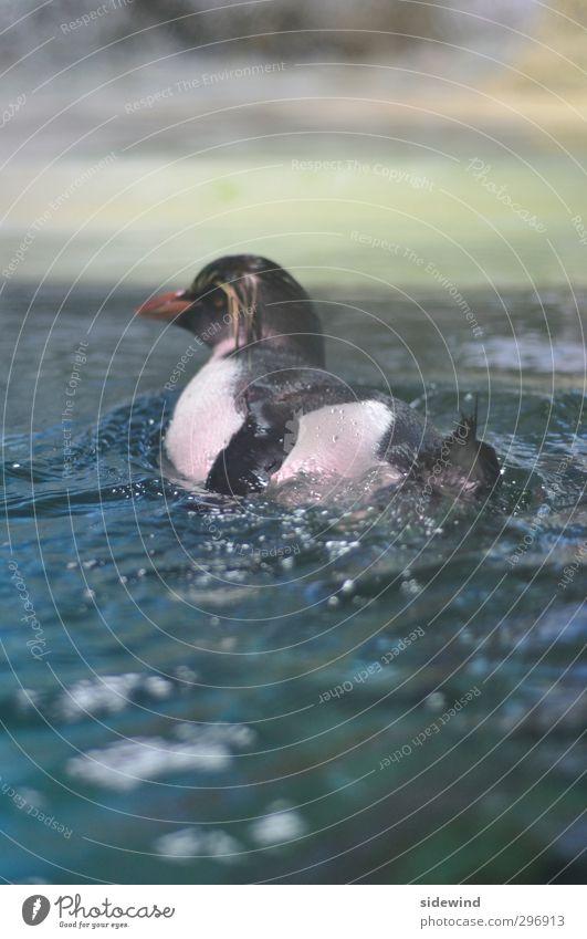 Surf's Up elegant Schwimmen & Baden Expedition Wassersport tauchen Wassertropfen Wellen Küste Meer Tier Flügel Zoo Aquarium Pinguin 1 Tropfen drehen glänzend