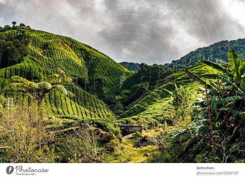 teatime mal wieder Tee Landschaft grün Natur Malaysia Klimaschutz fantastisch Klimawandel traumhaft Wolken Sträucher Umweltschutz Blatt Himmel Baum Feld