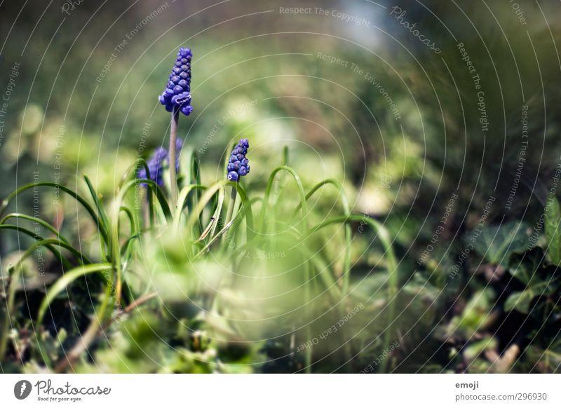Perlen Umwelt Natur Pflanze Frühling Schönes Wetter Blume Gras natürlich grün violett Hyazinthe Traubenhyazinthe Farbfoto Außenaufnahme Nahaufnahme