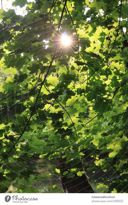 Grüner Lichtblick Natur Pflanze Wasser Sonne Sonnenlicht Sommer Schönes Wetter Baum Blatt Ahorn Wald Fluss Nagold leuchten Freundlichkeit hell grün Lebensfreude