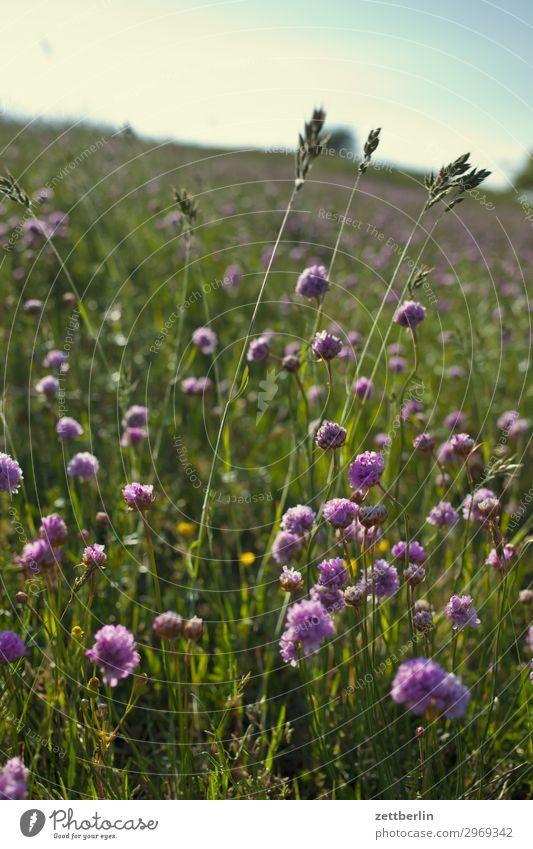 Klee Wiese Weide Landschaft Hügel Gras Blüte Blühend Blume Sommer Sommertag wandern Natur frei Ferien & Urlaub & Reisen Erholung ruhig Umweltschutz Idylle