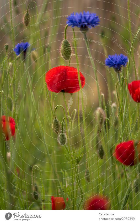 Blau und Rot und Grün Natur Pflanze Sommer Blume Gras Blatt Blüte Kornblume Klatschmohn Garten Wiese Feld Blühend Duft verblüht schön blau grün orange rot