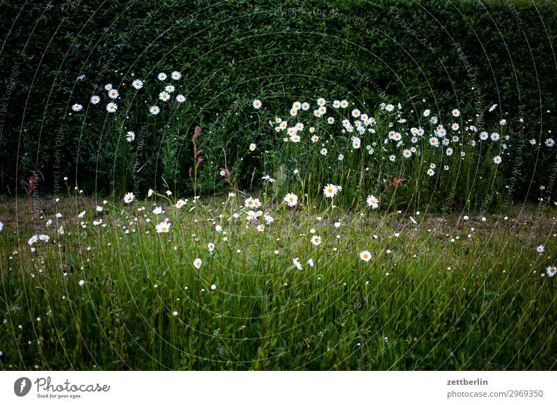 Margeriten Korbblütengewächs Blume Blüte Blühend Wiese Hecke Pflanze Natur Garten Vorgarten dunkel geheimnisvoll Romantik Menschenleer Textfreiraum
