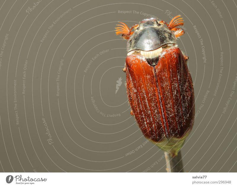Maikäfer allein Tier Garten Park Wald Wildtier Käfer 1 Fressen sitzen frei glänzend klein nackt oben braun grau Vorsicht Gelassenheit geduldig ruhig Einsamkeit