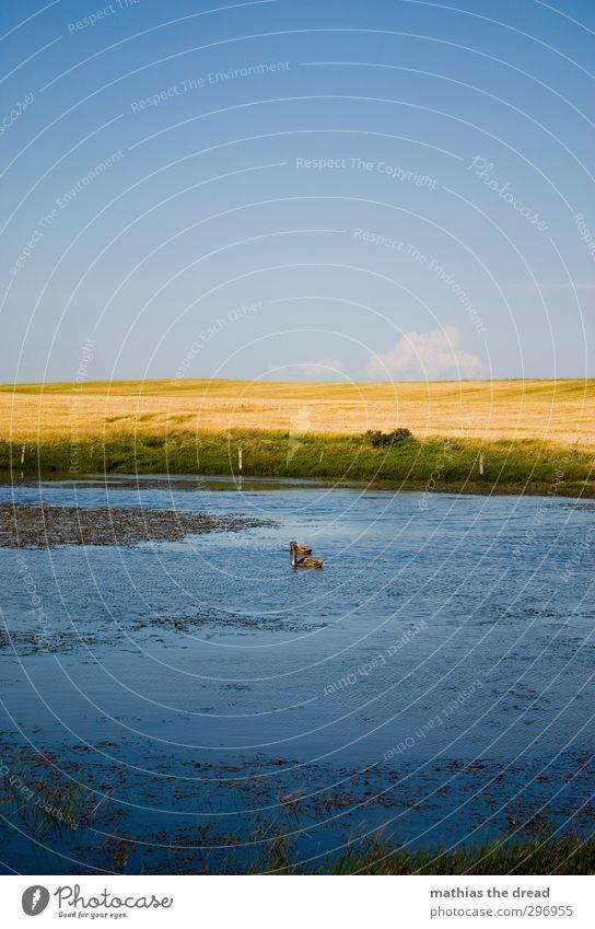 ENTEN Umwelt Natur Landschaft Pflanze Wasser Himmel Horizont Sonne Sommer Schönes Wetter Gras Feld Teich Tier Wildtier Ente 2 Schwimmen & Baden Farbfoto