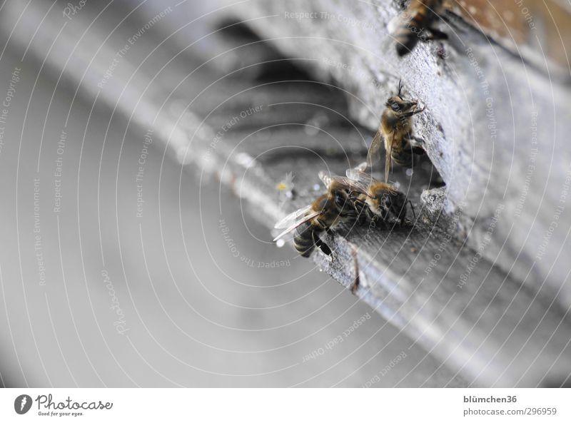 Kurz nach der Landung schön Tier Bewegung klein Arbeit & Erwerbstätigkeit fliegen Geschwindigkeit Ausflug Lebensfreude Insekt Völker Biene Teamwork tragen anstrengen Nutztier