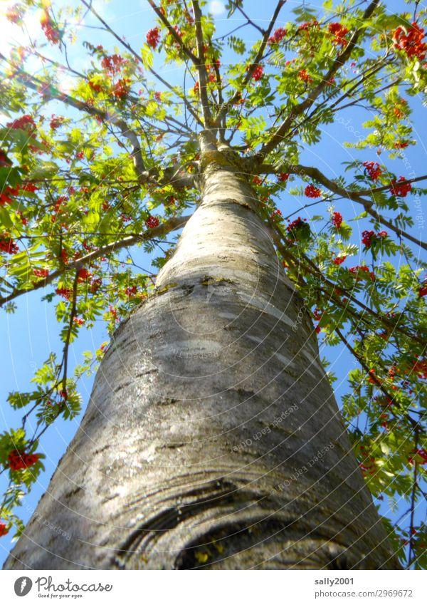 Vogelbeerbaum... Sonnenlicht Herbst Baum Baumstamm groß hoch lang nachhaltig Vergänglichkeit Beeren Vogelbeeren Baumrinde Farbfoto Außenaufnahme Detailaufnahme