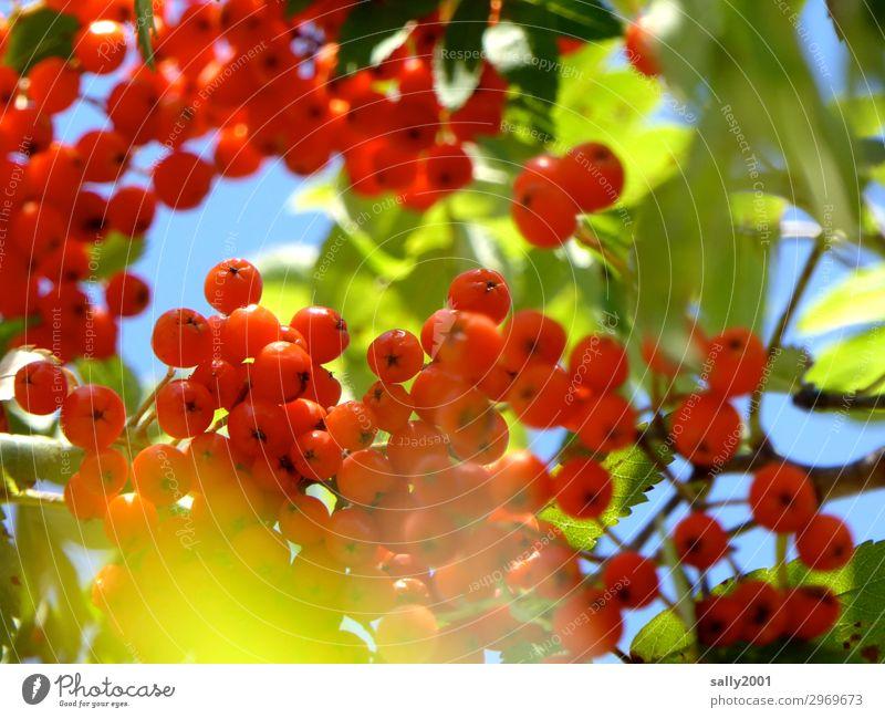 Vogeldelikatesse... Pflanze rot Baum Blatt Herbst süß rund reif Gift sauer Vogelfutter Vogelbeeren Vogelbeerbaum