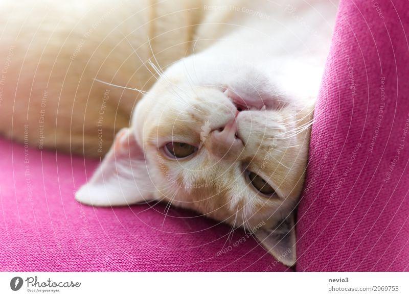 Verrückte Burma Katze Tier Haustier 1 Tierjunges frech lustig Neugier rosa Freude Fröhlichkeit Lebensfreude beige Myanmar Birmane Burma-Katze Reinrassig