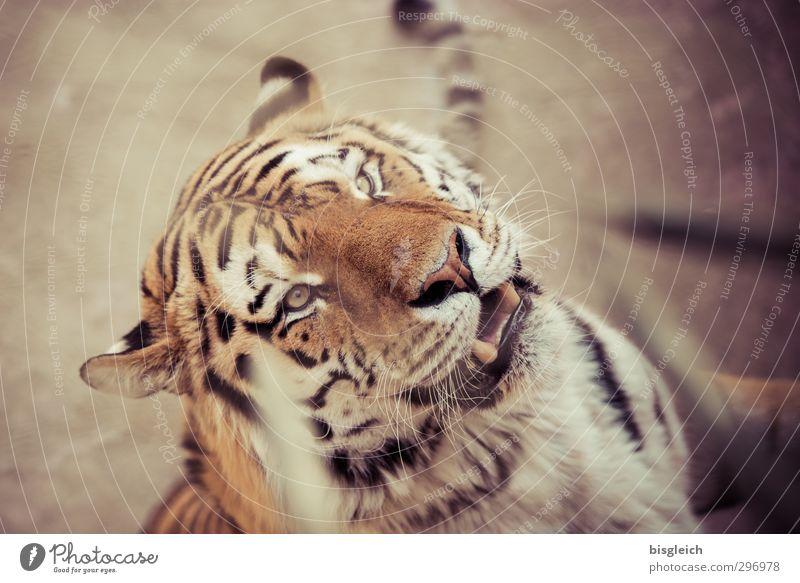 Rooaaarrrr! Zoo Wildtier Tiergesicht Tiger 1 Blick wild braun gelb Kraft gefährlich bedrohlich Farbfoto Außenaufnahme Menschenleer Schwache Tiefenschärfe