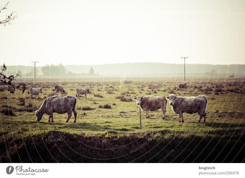 Auf'm Land Fleisch Wurstwaren Natur Landschaft Wiese Weide Nutztier Kuh Kuhherde 3 Tier Herde Fressen Blick stehen grün Landleben Bauernhof Landwirtschaft