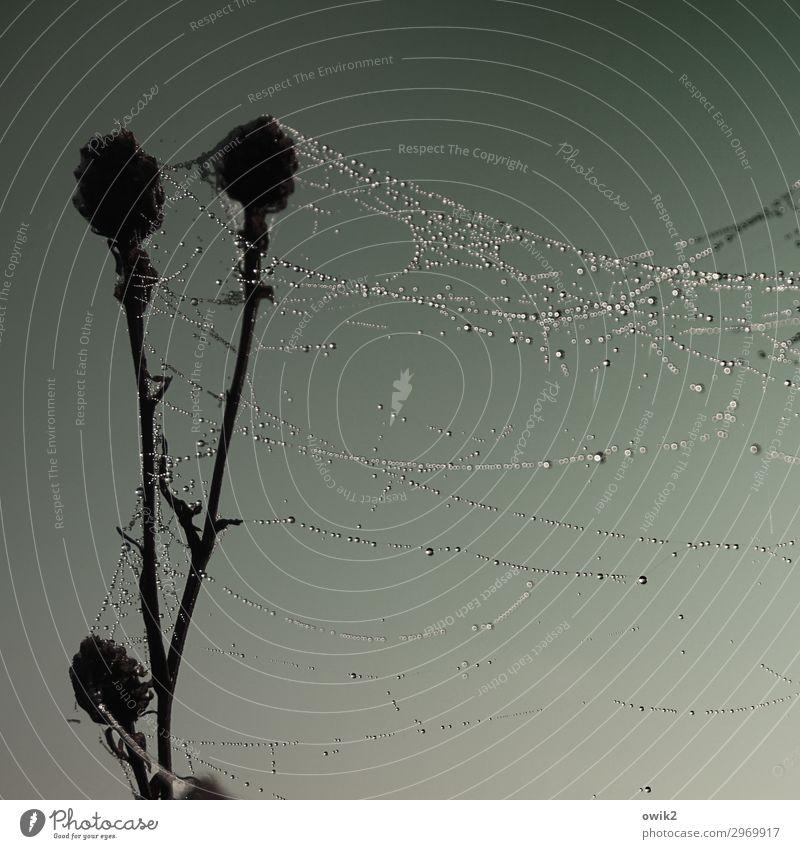 Verweht Umwelt Natur Pflanze Wassertropfen Wolkenloser Himmel Herbst Distel Spinngewebe Spinnennetz hängen dunkel nass ruhig Farbfoto Gedeckte Farben