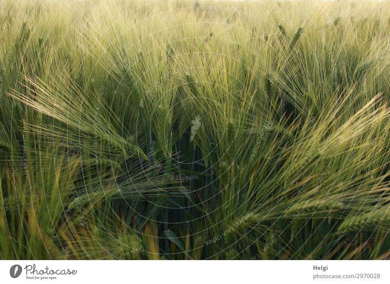 Gerstenfeld mit unreifen Kornähren Lebensmittel Getreide Umwelt Natur Pflanze Sommer Schönes Wetter Nutzpflanze Ähren Feld stehen Wachstum authentisch natürlich