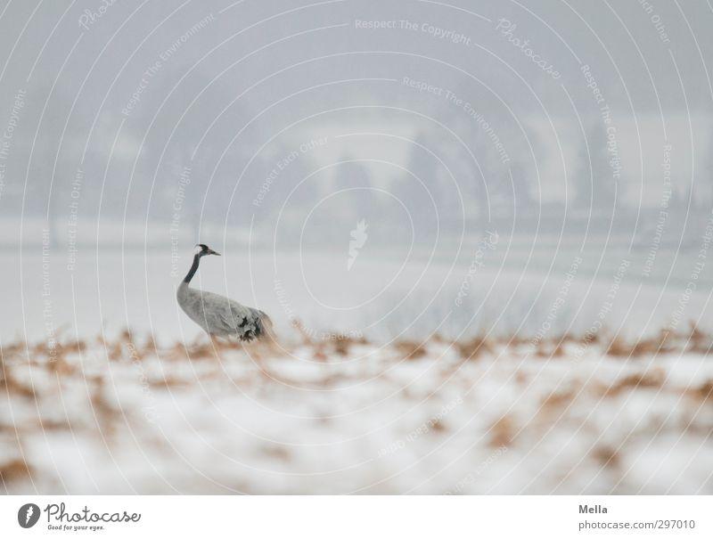 Wendehals Umwelt Natur Landschaft Tier Erde Winter Schnee Feld Wildtier Vogel Kranich 1 drehen Blick stehen natürlich Neugier trist kalt Suche Farbfoto