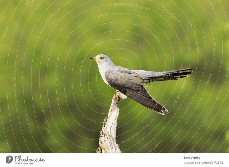 gemeiner Kuckuck auf einem Stumpf schön Mann Erwachsene Natur Tier Frühling Baum Wald Vogel sitzen hell natürlich wild grau grün Farbe stump.bird Cuculus