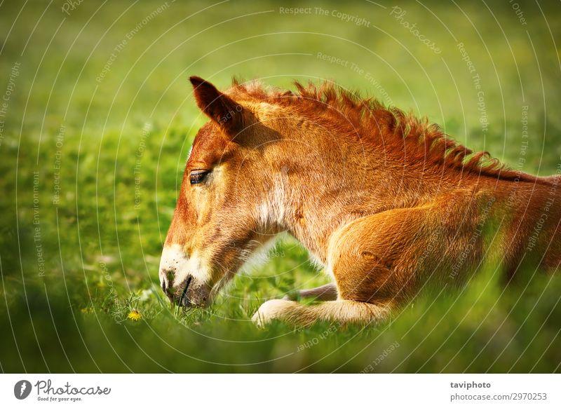 junges braunes Pferd Nahaufnahme schön Gesicht Sommer Natur Tier Gras Wiese Nutztier niedlich grün Farbe heimisch Kopf pferdeähnlich Beautyfotografie Mähne