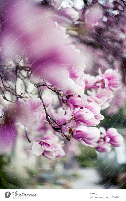 magnolia Umwelt Natur Frühling Baum Blume Blüte Magnoliengewächse Magnolienblüte Magnolienbaum natürlich rosa Farbfoto Außenaufnahme Nahaufnahme Menschenleer
