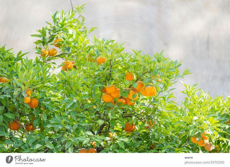 branches of an orange tree with ripe oranges Orange Vegetarische Ernährung Sommer Natur Essen Gesundheit rund saftig Sunbeams copy space food fruit glitter