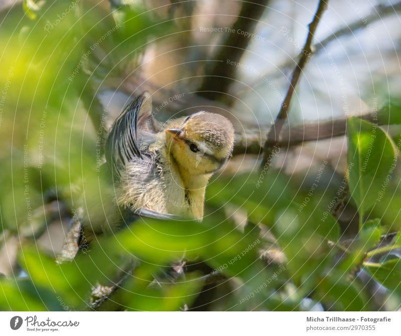 Junge Kohlmeise putzt sich Himmel Natur blau grün Baum Tier Blatt Tierjunges gelb Auge orange Vogel Wildtier Feder Schönes Wetter lernen