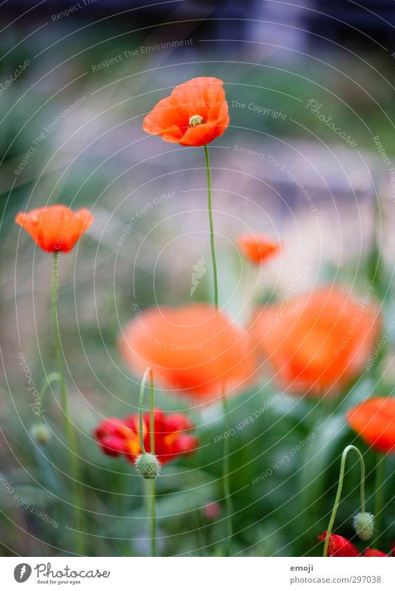 Applaus für den Klatschmohn Umwelt Natur Landschaft Pflanze Frühling Blume Blüte natürlich grün rot Mohn Mohnblüte Farbfoto Außenaufnahme Makroaufnahme