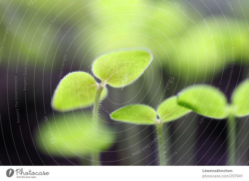Kleines Frühlingsgrün Natur Pflanze Blatt Grünpflanze Pflanzenspross Garten Wachstum frisch klein schön Stimmung Vorfreude Mut Leben Hoffnung Sehnsucht Beginn