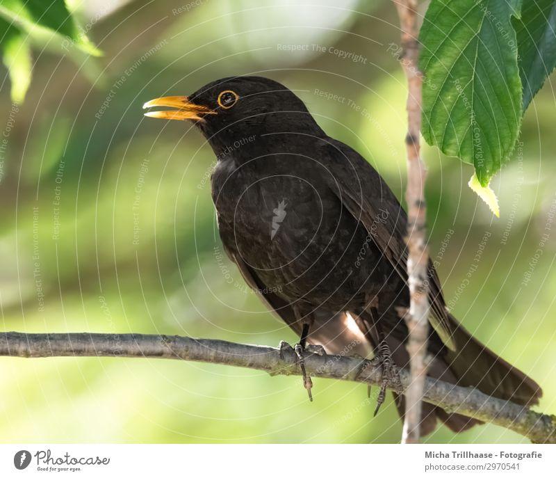 Amsel im Sonnenschein Natur grün Baum Erholung Tier Blatt schwarz gelb Umwelt Auge natürlich orange Vogel Wildtier stehen Feder