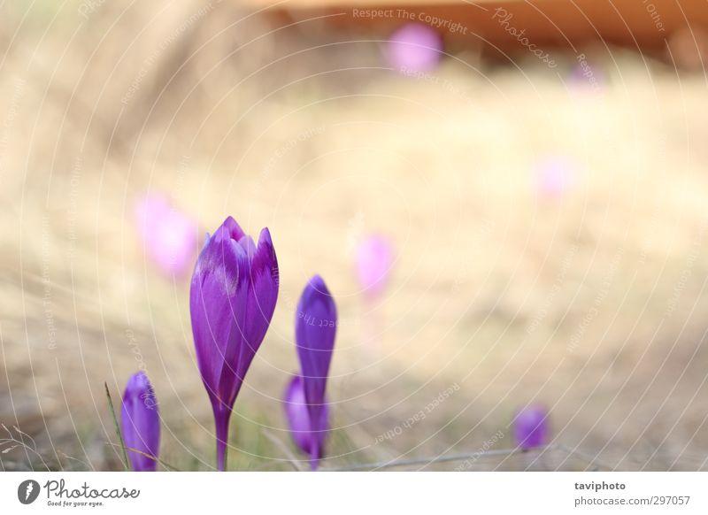 wilde violette Blumen schön Garten Natur Pflanze Frühling Gras Blüte Blühend frisch hell natürlich blau grün Farbe Krokusse Regenbogenhaut geblümt Windstille