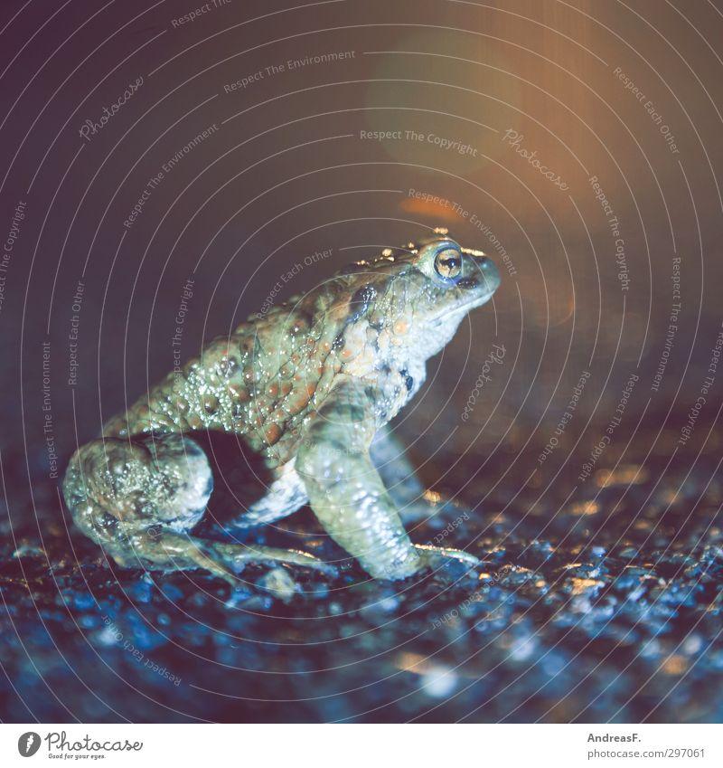Froschperspektive 1 Tier sitzen wandern Kröte Krötenwanderung Straße Farbfoto Textfreiraum oben Abend Nacht