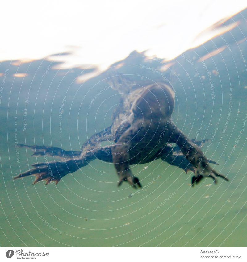 Karpfenperspektive Umwelt Natur Tier Wasser Seeufer Bach Fluss Frosch 1 Schwimmen & Baden Kröte Krötenwanderung Erholung Im Wasser treiben Unterwasseraufnahme