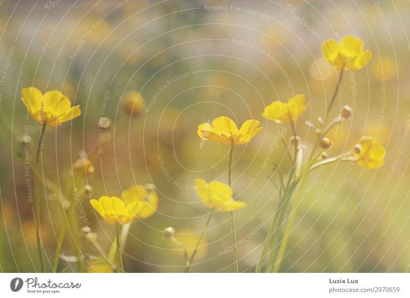 Zartes Gelb Pflanze Blume Wildpflanze Sumpf-Dotterblumen gelb Sonnenstrahlen zart schön Farbfoto Außenaufnahme Textfreiraum oben Tag Schwache Tiefenschärfe