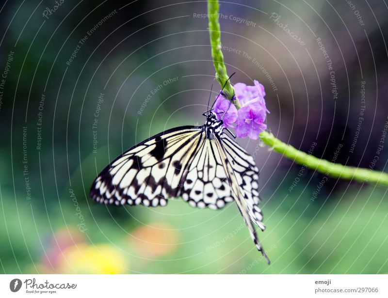 Edelfalter Pflanze Blume Blüte Tier Wildtier Schmetterling 1 frei natürlich Weiße Baumnymphe Farbfoto Außenaufnahme Makroaufnahme Menschenleer Tag