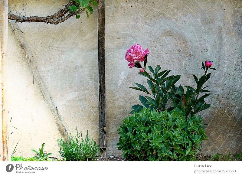 Pfingstrose in einem alten Garten Pflanze Sommer Blume Wein Dorf Haus Mauer Wand Fassade Pfingsten hell historisch schön rosa alte Gärten Gedeckte Farben