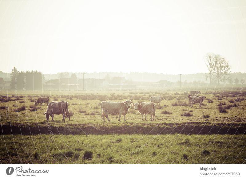 Auf'm Land II Fleisch Wurstwaren Bioprodukte Bauernhof Natur Landschaft Wiese Feld Kuh 3 Tier Herde Blick stehen Glück grün Farbfoto Gedeckte Farben